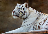 White Bengal Tiger — Stockfoto