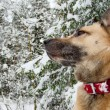 Stock Photo: West SiberiLaik(Husky)