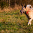 Stock Photo: Running West Siberilaik(husky)