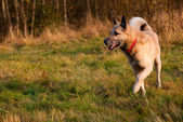 Running West Siberian laika (husky) — Stockfoto
