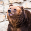 Brown bear in Moscow zoo — Stock Photo #1158088