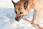 Aggressively looking dog with a stick — Stock Photo