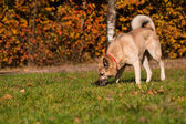 West Siberian laika (husky) — Stock Photo