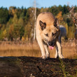 Jumping West Siberian laika (husky) — Stock Photo