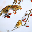 Stock Photo: Thrushes and rowanberry