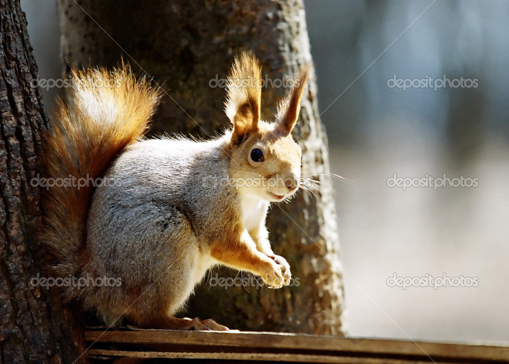 The squirrel sits on a branch of a tree and eats a nut   Stock Photo #1120582