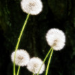 Dandelion — Photo #1280565