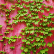 Royalty-Free Stock Photo: Green ivy on pink wall