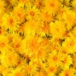 Yellow dandelions — Stock Photo