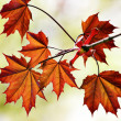 Red leaves season background — Stock Photo