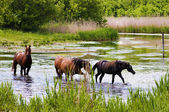 Herd of wild steppe horses in river — Stock Photo