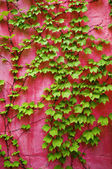 Green ivy on pink wall — Stock Photo