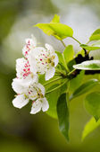 Pear white flowers — Foto Stock