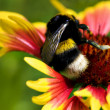 Big bumblebee on red yellow flower — Stock Photo #1087563