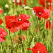 Red poppy field — Stock Photo #1087586