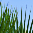 Green palm leaf — Stock Photo #1087697