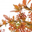 Branch of barberry - Stock Photo