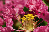 Rhododendron flower — Stock Photo