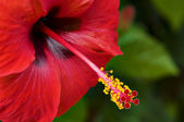 Red flower of hibiscus — Stock Photo