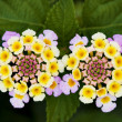 Lantana camara flovers — Stock Photo