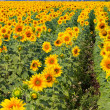 thumbnail of Sunflower field