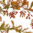 Branch of barberry — Stock Photo #1094843
