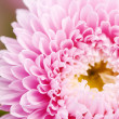 Aster flower — Stock Photo #1094850