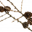 Spruce branch with cones - 图库照片
