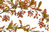 Branch of barberry — Stock Photo