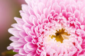 Aster flower — Stock Photo