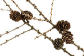 Spruce branch with cones — 图库照片