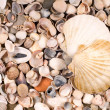 Big and small shells — Stock Photo
