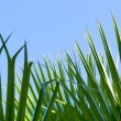 Green palm leaf — Stock Photo #1151919