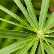 Stock Photo: Cyperus alternifoius