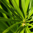 Cyperus alternifoius — Stock Photo