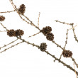 Spruce branch with cones -  