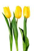 Three yellow tulips — Stock Photo