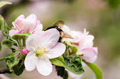 Pear white flowers with bumblebee — Stock Photo