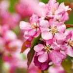 Paradise apple flowers — Stock Photo #2052009
