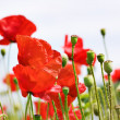 Royalty-Free Stock Photo: Red poppy field