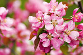 Paradise apple flowers — Stock Photo