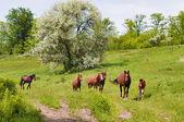 Herd of wild steppe horses on graze — Stock Photo