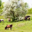 Stock Photo: Herd of wild steppe horses on graze