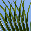Green palm leaf — Stock Photo #2123233