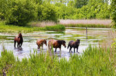 Herd of wild steppe horses on river — Stock Photo