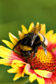Big bumblebee on red yellow flower — Stock Photo