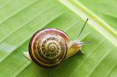 Snail on leaf — Stock Photo