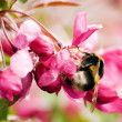 Apple pink flowers with bumblebee — Stock Photo