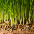 Bush of grass — Stock Photo #2377245