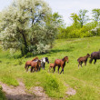 Herd of wild steppe horses on graze - Stock Photo